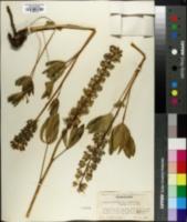 Lupinus arcticus image