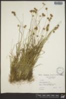 Juncus filipendulus image