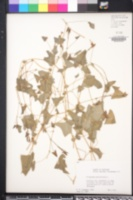 Persicaria perfoliata image