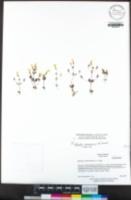 Erythranthe arenaria image
