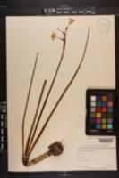 Narcissus jonquilla image