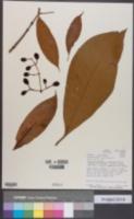 Image of Chrysochlamys nicaraguensis