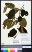 Image of Carpinus cordata