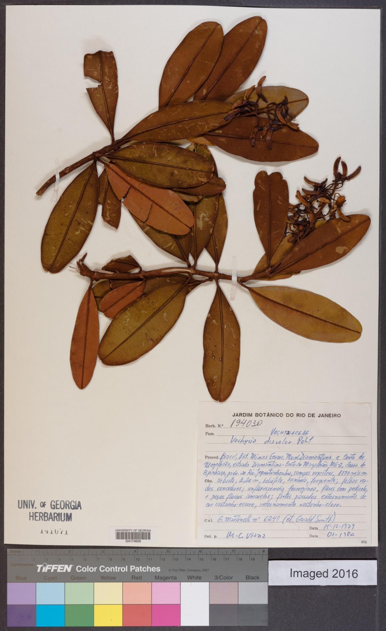 Vochysia discolor image