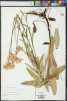 Chrysanthemum lacustre image