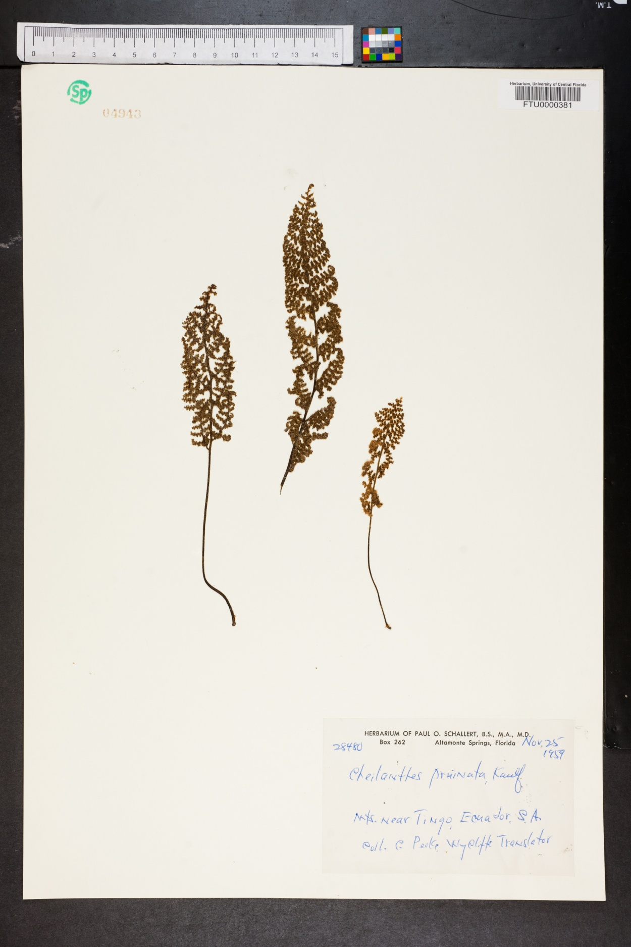 Cheilanthes pruinata image