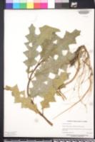Acanthus ilicifolius image