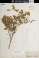 Dalea versicolor var. sessilis image