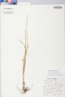 Allium oxyphilum image