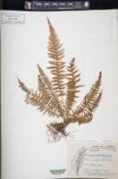 Thelypteris decursive-pinnata image