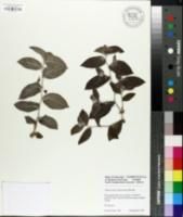 Image of Tradescantia sillamontana