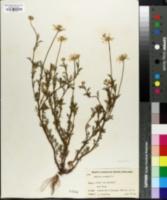 Anthemis arvensis image