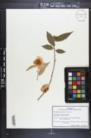Image of Camellia yunnanensis