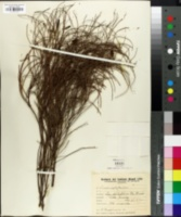 Cassia aphylla image