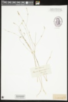 Image of Polygala leptostachys