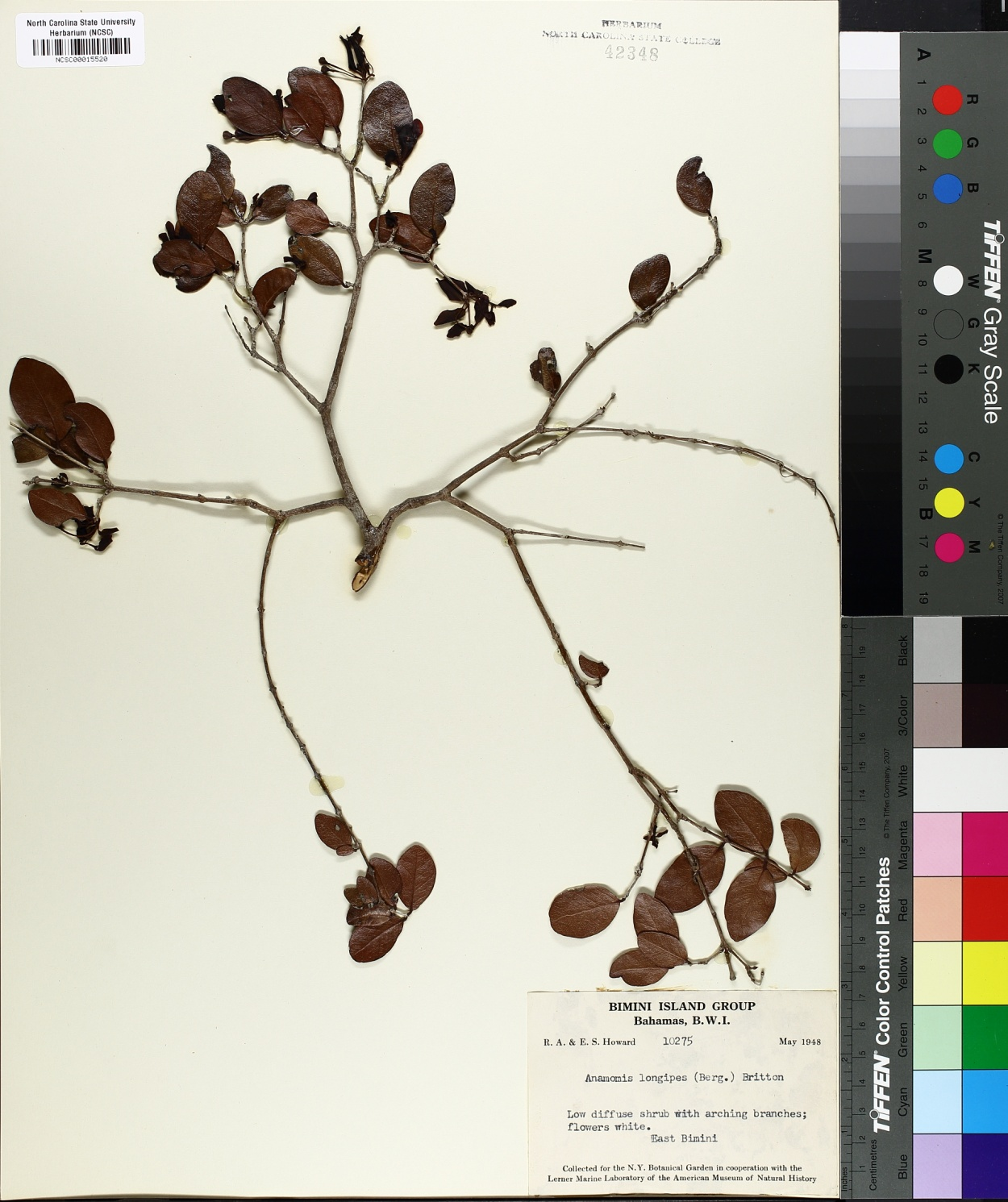 Anamomis longipes image