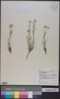 Hymenoxys richardsonii var. richardsonii image