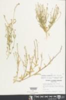 Calepina irregularis image