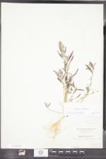 Atriplex littoralis image