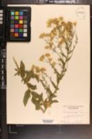 Heterotheca subaxillaris image