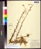 Image of Arabis pycnocarpa