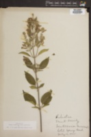 Image of Scutellaria canescens