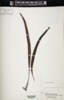 Image of Lepisorus oligolepidus
