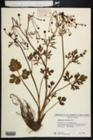 Image of Ranunculus trilobus