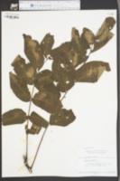 Juglans nigra image