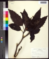 Image of Aucuba japonica