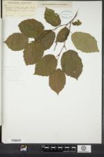 Image of Corylus heterophylla