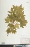 Image of Acer hyrcanum
