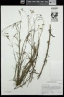 Image of Senecio quadridentatus