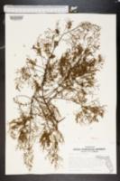 Lechea deckertii image