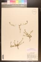Image of Bouchetia erecta