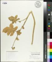 Solanum aethiopicum image