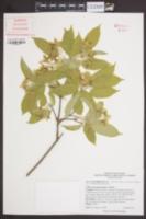 Acer coriaceifolium image