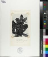 Quercus knoblochii image