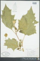 Datura stramonium image