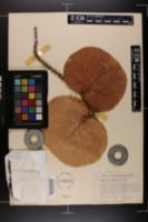 Coccoloba uvifera image