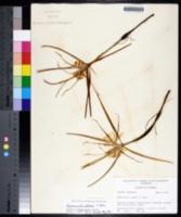 Hymenocallis palmeri image