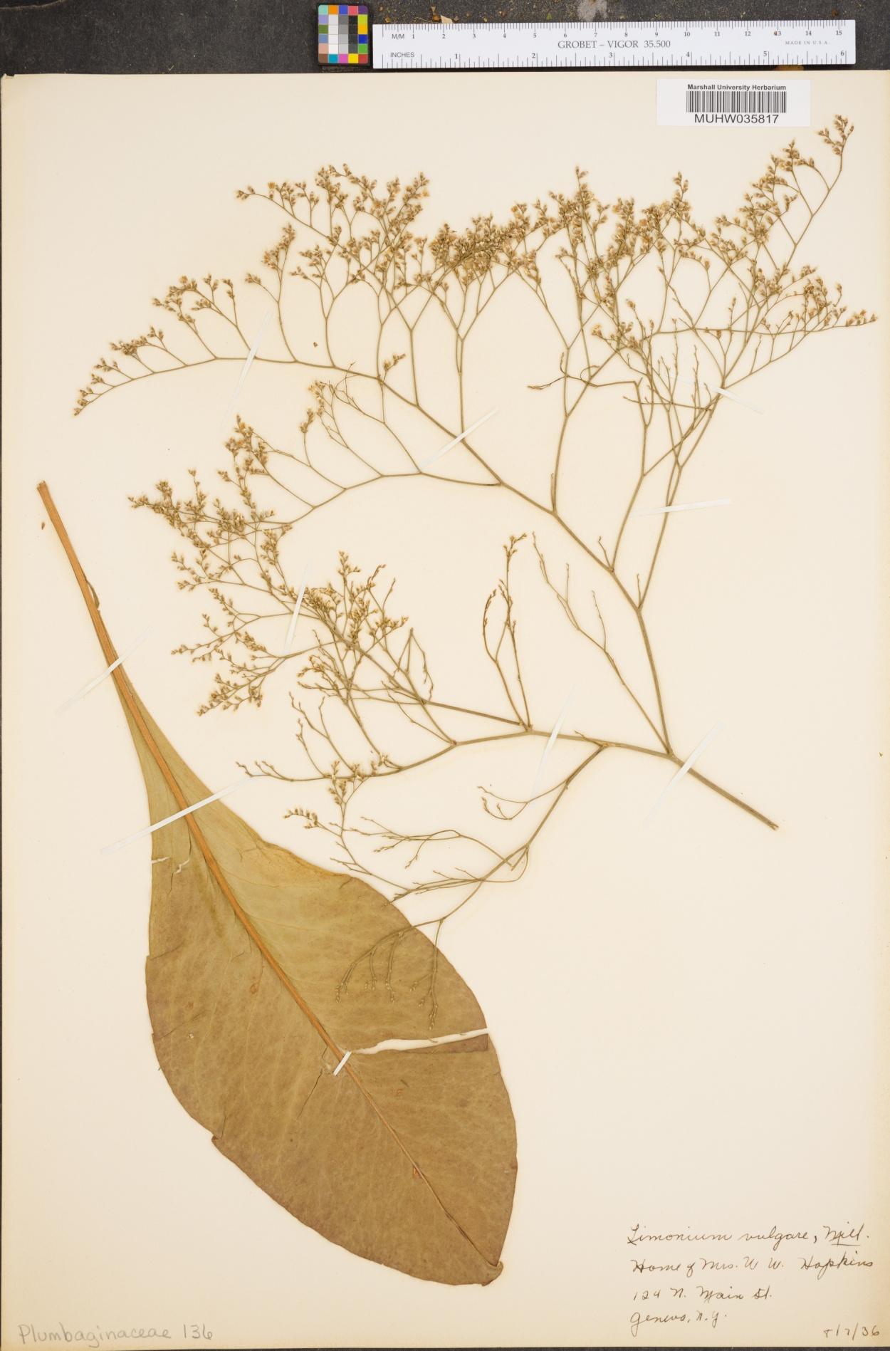 Limonium vulgare image