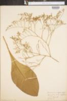 Image of Limonium vulgare