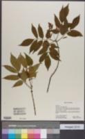 Image of Fraxinus sieboldiana