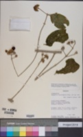 Image of Aegiphila candelabrum