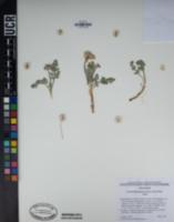 Vesper purpurascens image