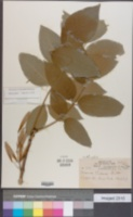 Image of Fraxinus michauxii