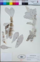 Image of Stephanomeria guadalupensis