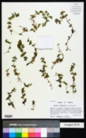 Bacopa innominata image