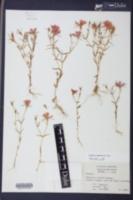 Sabatia campestris image